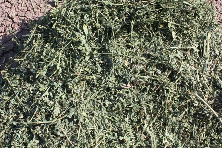 how to grow alfalfa hay for horses